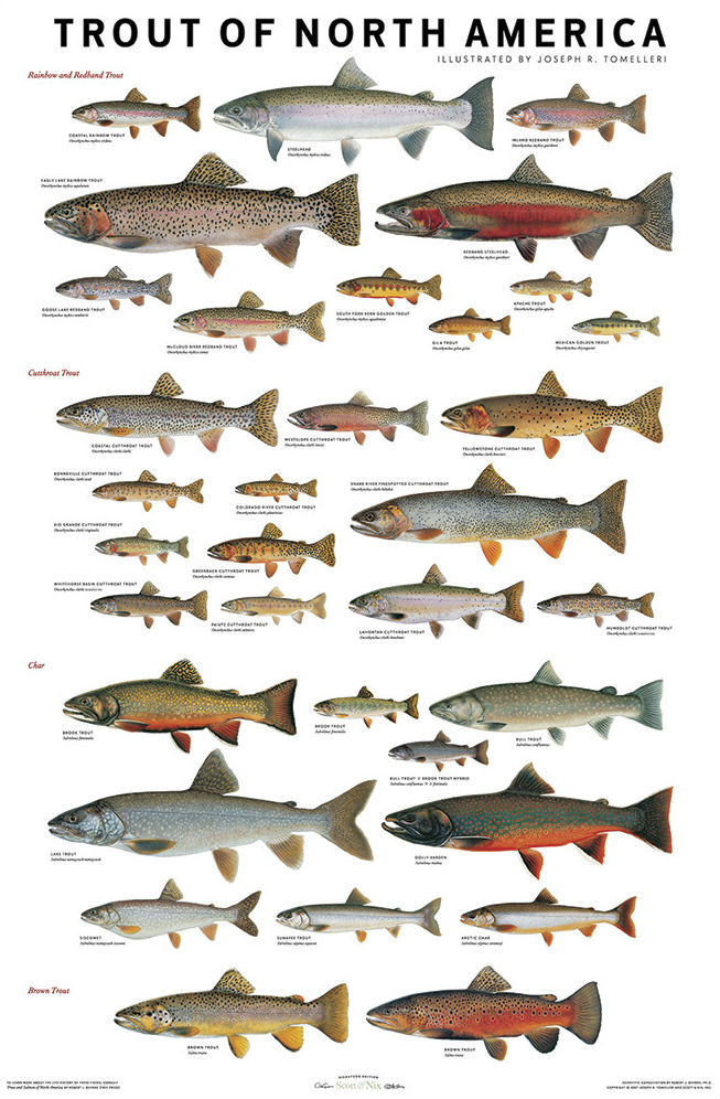 Use These Charts to Confidently ID Trout  Salmon Species