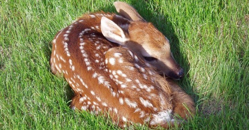 11 Whitetail Fawn Facts