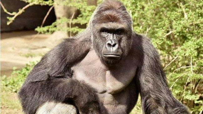Harambe tenía 17 años y venía del zoológico de Brownsville, Texas