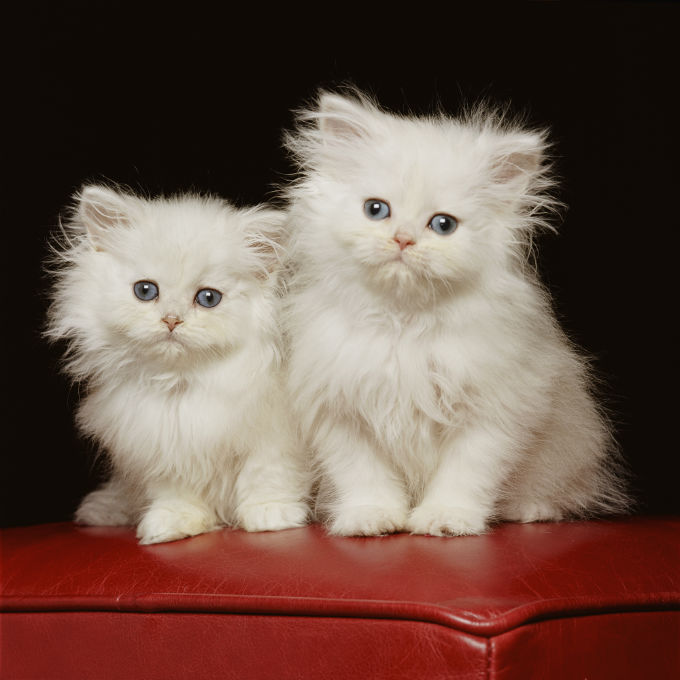 Persian Cat Breed Information, Pictures, Characteristics  Facts