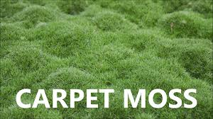 Carpet Moss For Sale Get Moss For 479 Per Square Foot