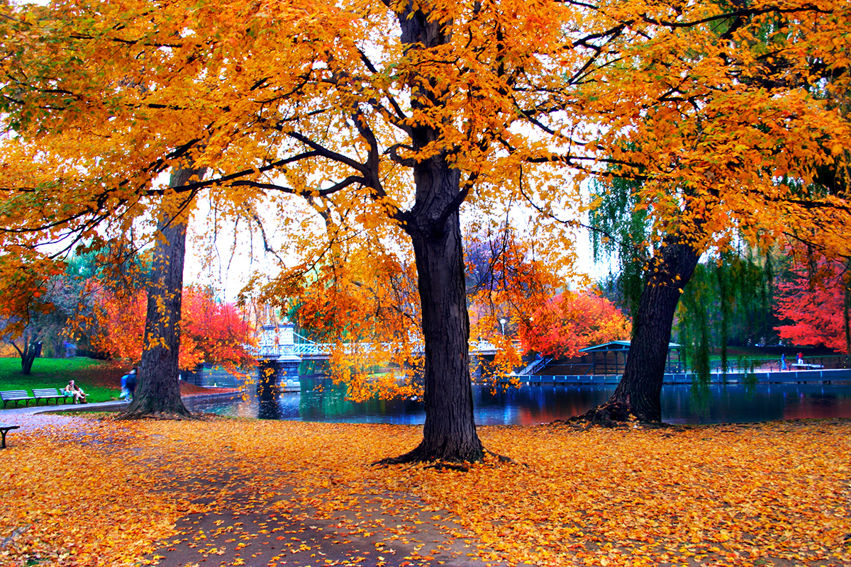 Autumn Tree Leaf Fall Animated Wallpaper Kayak Found The Cheapest Time To Visit Boston This Fall