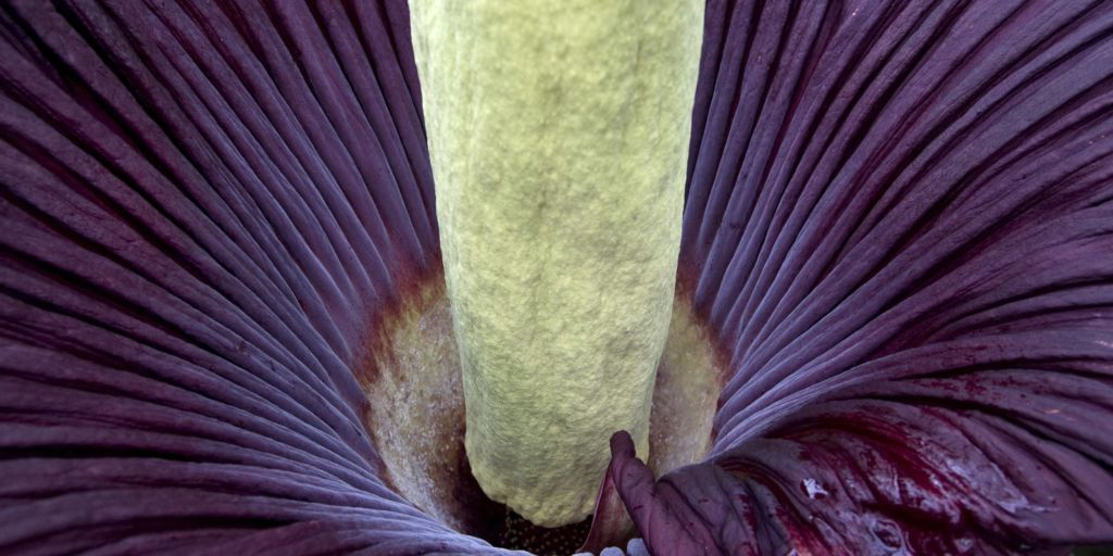 Corpse Flower New York Giant Flower That Smells Like Death Blooms For First Time