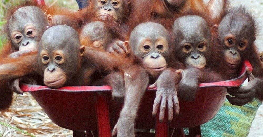 Cute Ape Wallpaper A Wheelbarrow Full Of Baby Orangutans Is Exactly As Cute