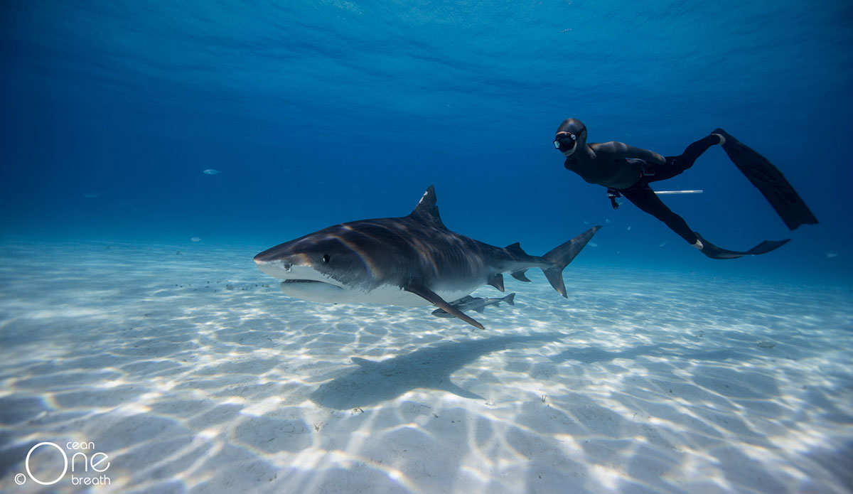 Hd Great White Shark Wallpaper Falling In Love With The Tiger Free Diving With Tiger