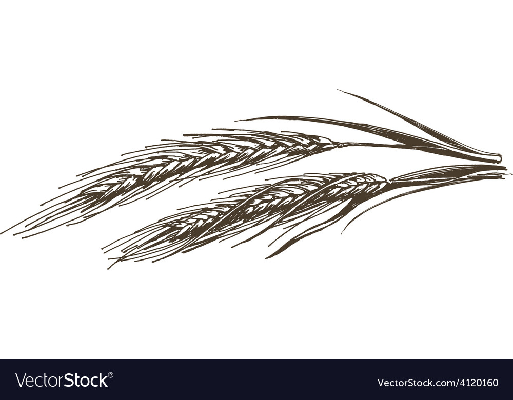 Wheat logo design template food or grain Vector Image - wheat template