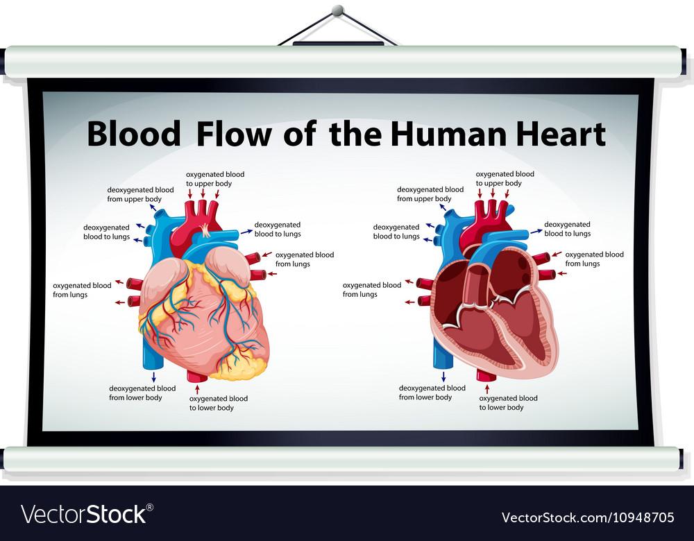 Diagram showing blood flow in human heart Vector Image