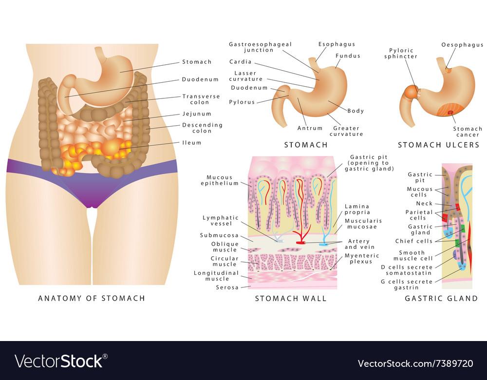 Stomach anatomy Royalty Free Vector Image - VectorStock