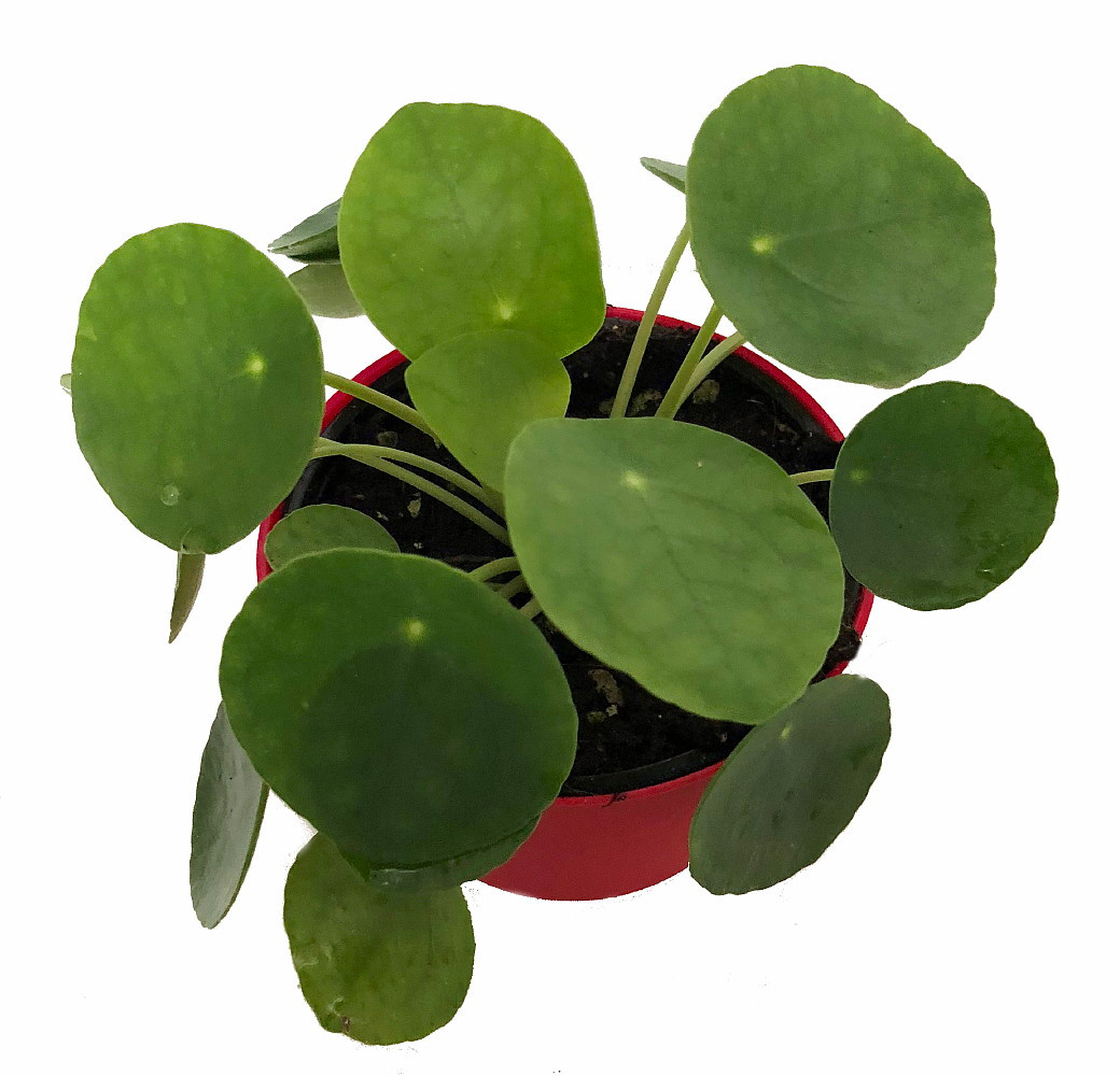 Gift Box Chinese Money Plant Pass It On Plant Pilea Peperomioides Share Gift Box