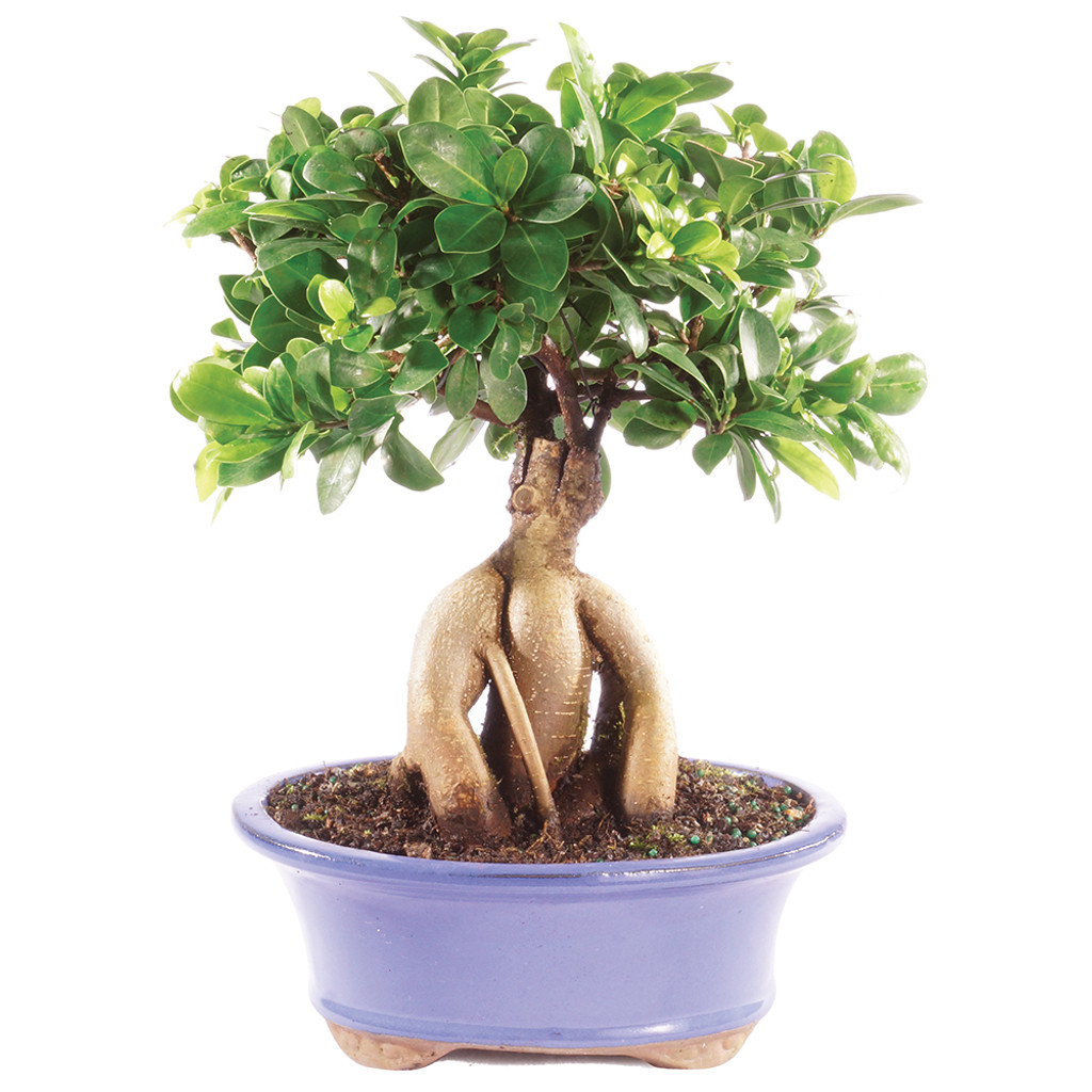 Ficus Ginseng Bonsai Ginseng Grafted Ficus Ct7013gmf