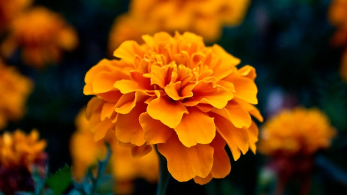 Tagetes Blume Poppy - California Orange Og - Seattle Seed Company