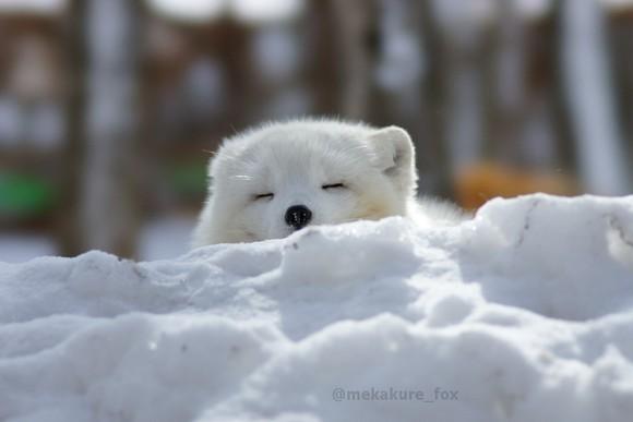 Wallpaper Cute Bear 極地小精靈北極狐,瞇瞇眼讓人好想摸 凹凹 鍵盤大檸檬 Ettoday新聞雲