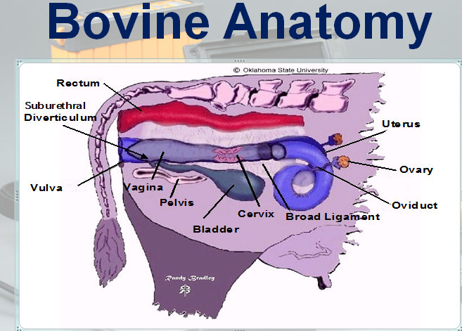 Cattle Reproductive System Anatomy wwwpicturesso