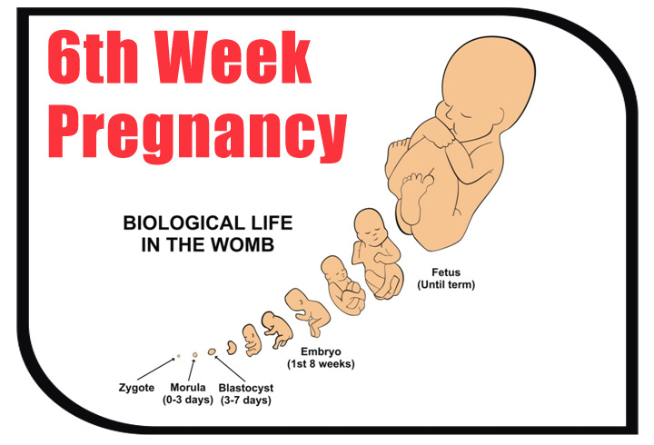 6th Week Pregnant Symptoms, Baby Development And Body Changes