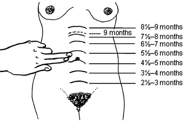 Uterus During Pregnancy Its Size, Changes And Role