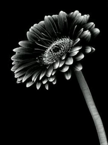 Daisy Iphone Wallpaper Black And White Sunflower Wallpaper Iphone Blackberry