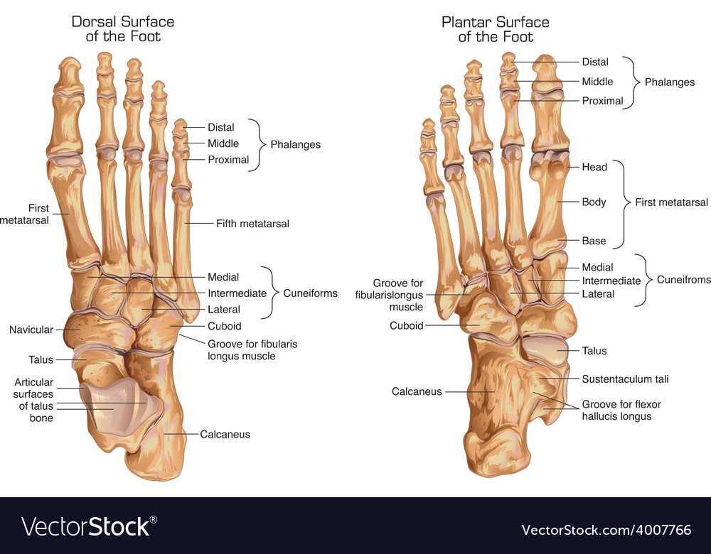 Human skeletal structure of the foot Royalty Free Vector
