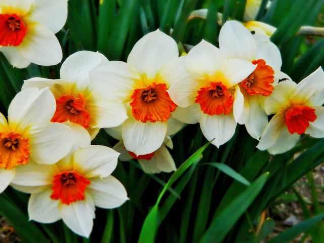 Daffodils Wallpaper Hd The Birth Flower For March Albuquerque Florist