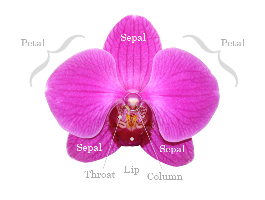 Freesia Flower Dissection The Most Frequently Asked Questions About Orchid Plants