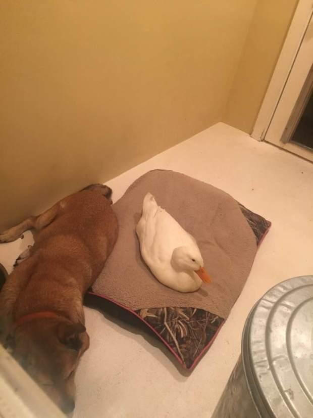 pato y perro 5