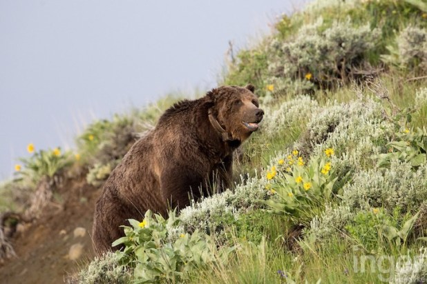 Scarface the Grizzly Bear - Inger Vandyke