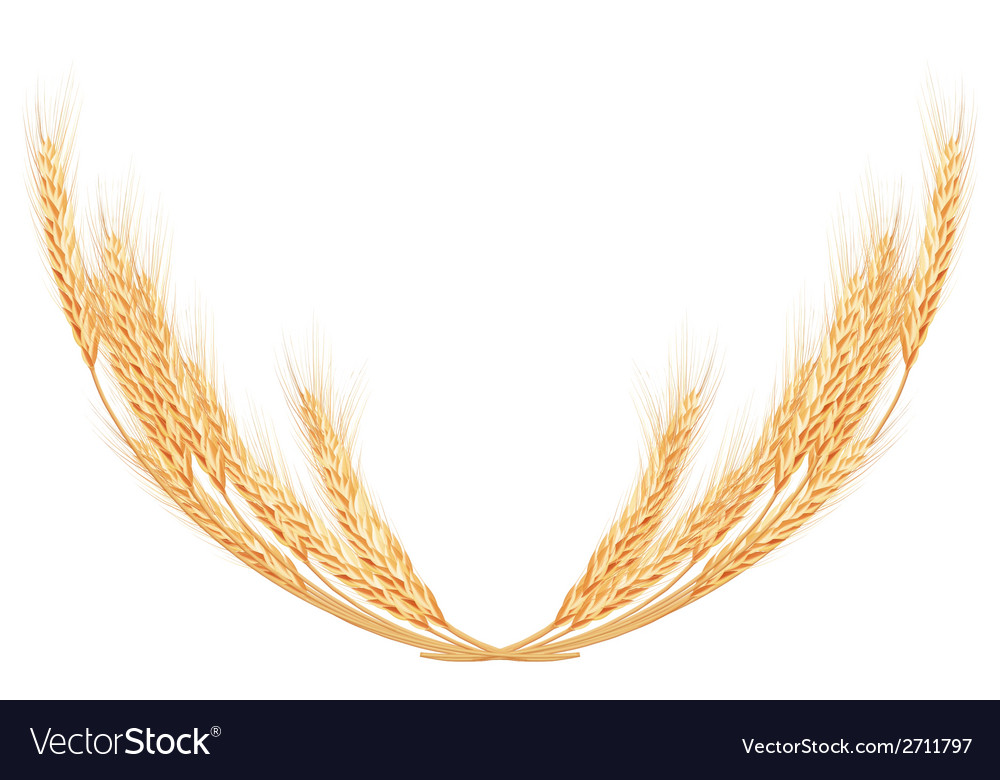 Wheat spikes on white template EPS 10 Royalty Free Vector - wheat template