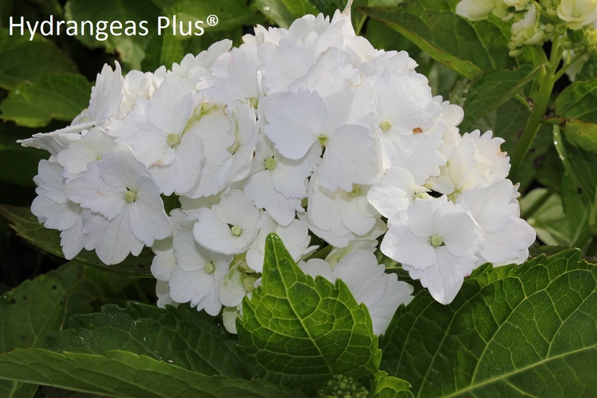 Hortensia Endless Summer Kopen Hydrangea Macrophylla White Garden Design Ideas