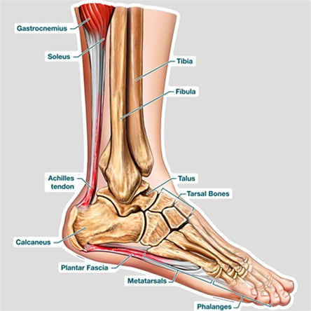 BodyPartChart Cross Section of the Foot - Labeled - Anatomical Charts