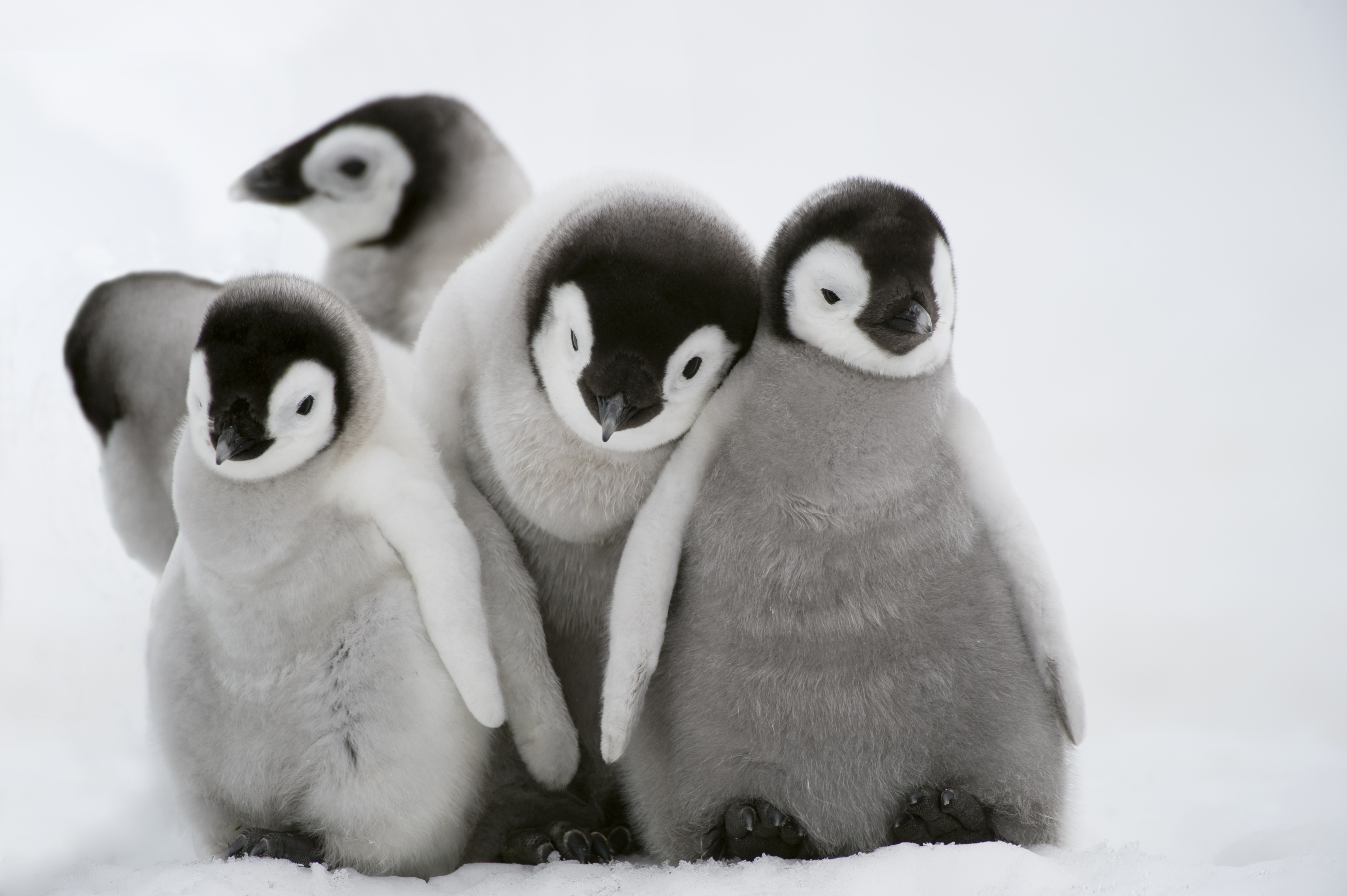 Funny Hd Animal Wallpapers Penguins Explained Vox