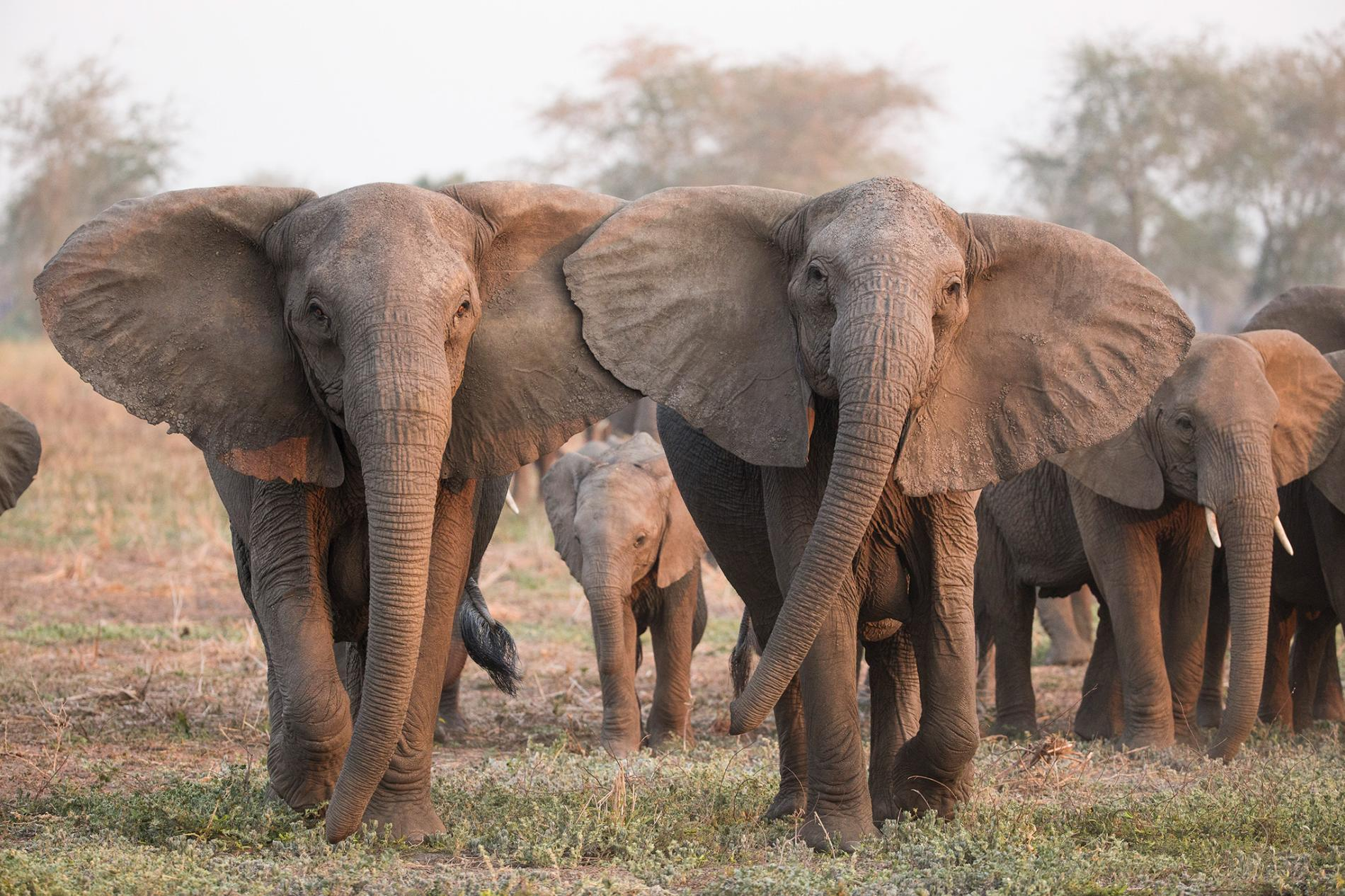 Photos éléphants Excessive Poaching May Be Causing African Elephants To Evolve