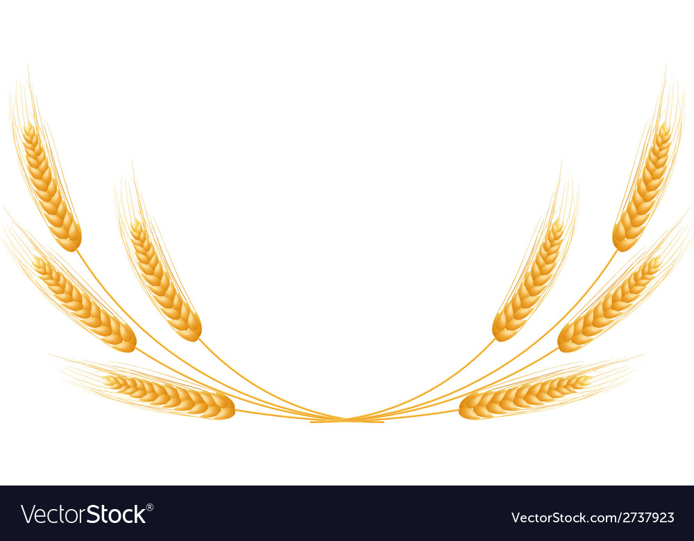 Ripe Ears wheat set Isolated detailed template Vector Image - wheat template