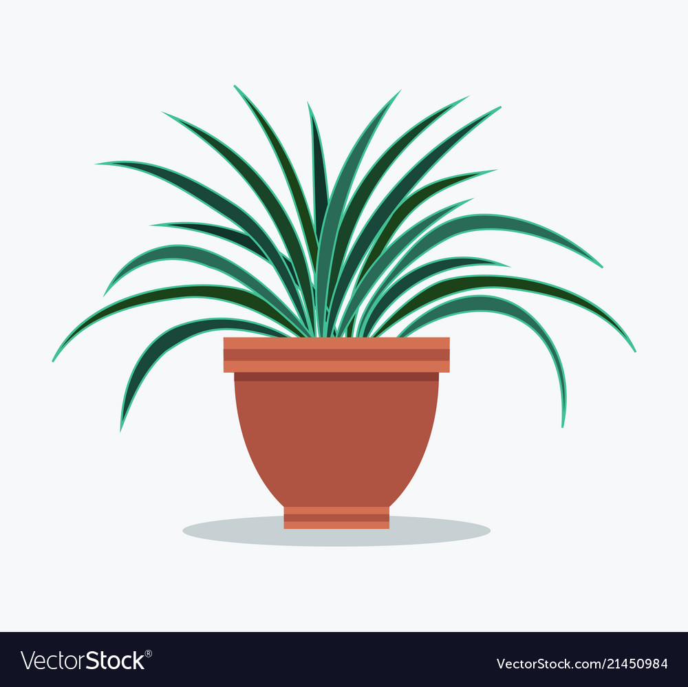 Dracaena Plant Dracaena House Plant With Long Thin Leaves In Pot