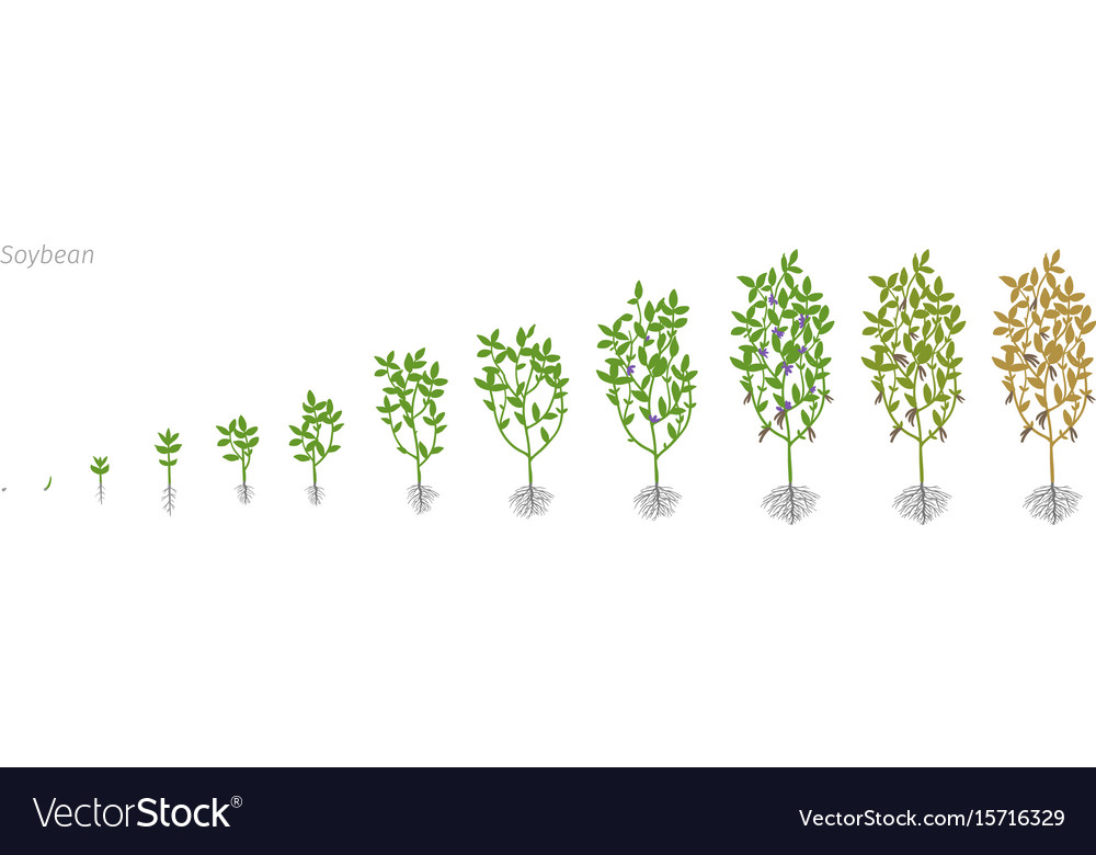Soybean glycine max growth stages Royalty Free Vector Image