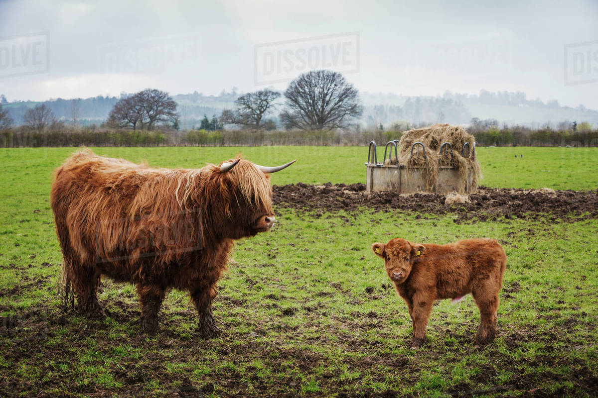 Feed Hay A Highland Cow And Calf In A Field By A Hay Feed Holder Stock Photo