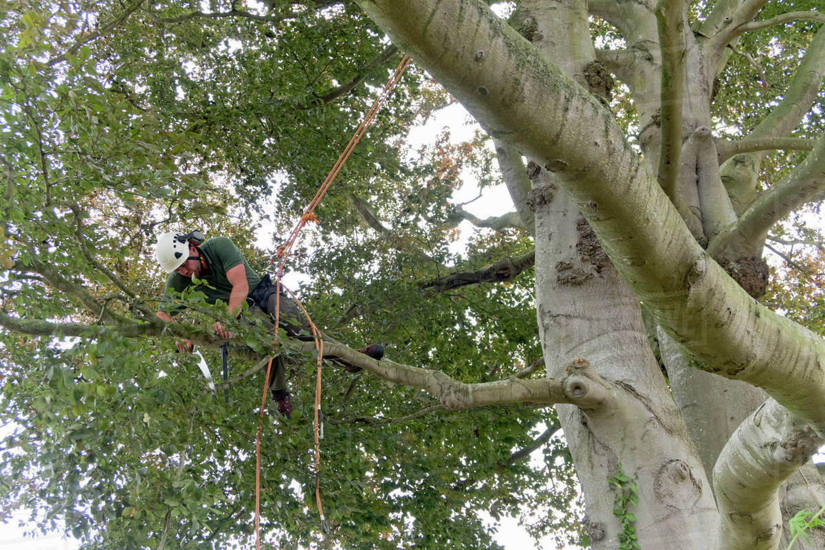Tree Surgeon Wearing Safety Harness Pruning Copper Beech
