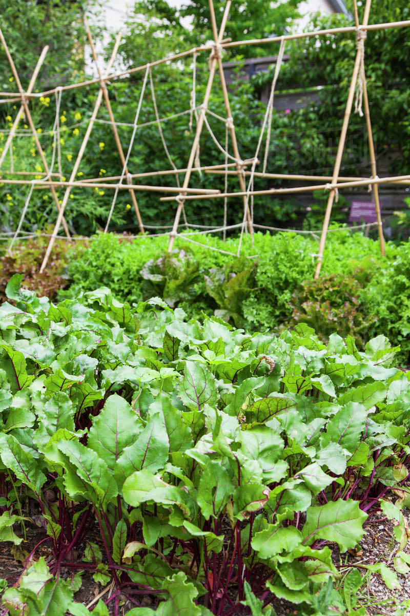 Bamboo Canada Beets And Lettuce In A Kitchen Garden With An A Frame Trellis Made Of Bamboo In The Background Toronto Ontario Canada Stock Photo