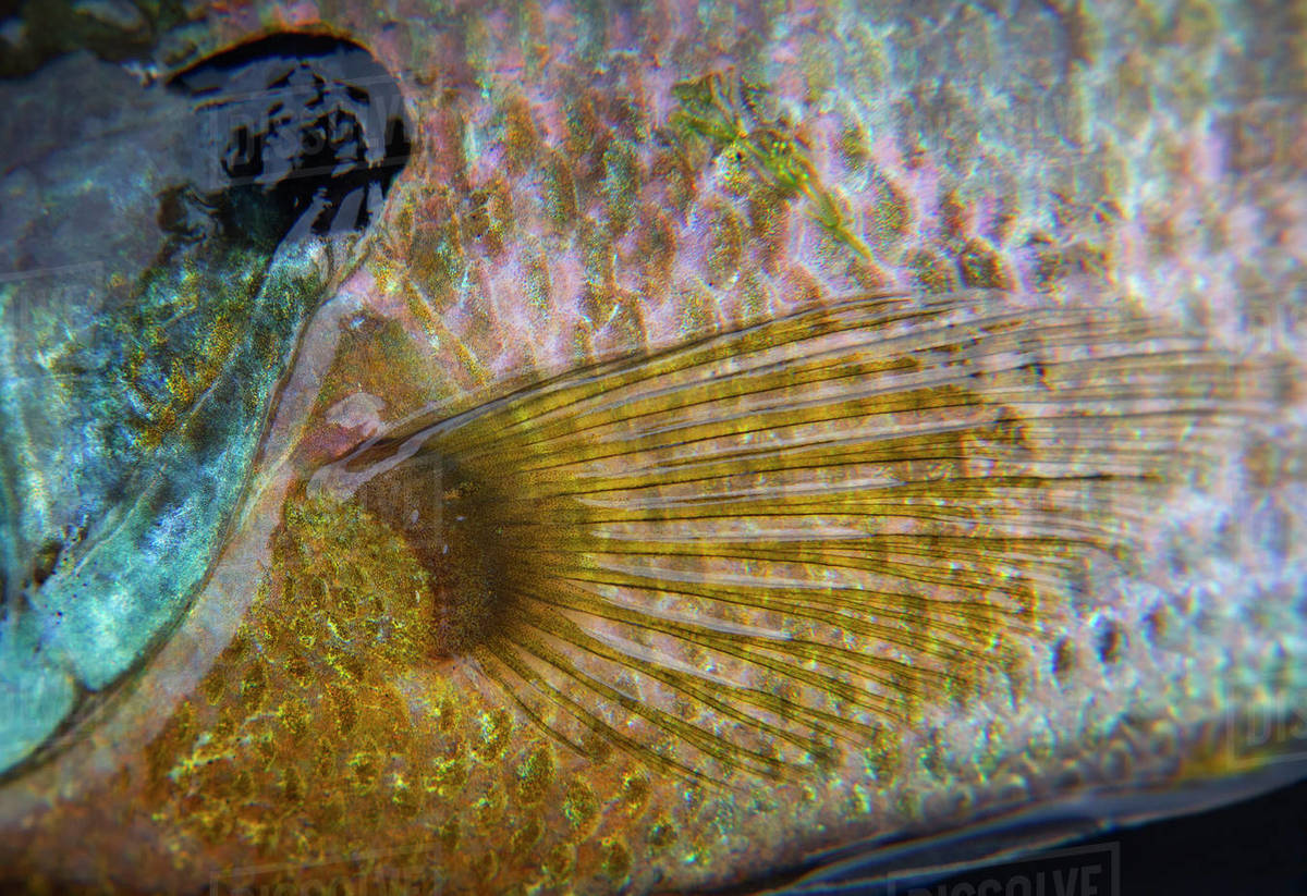 Flapon Closeup Of A Bluegill Spiny Ray Panfish Showing The Black Opercular Flap On The Gill Cover And Pectoral Fin Stock Photo