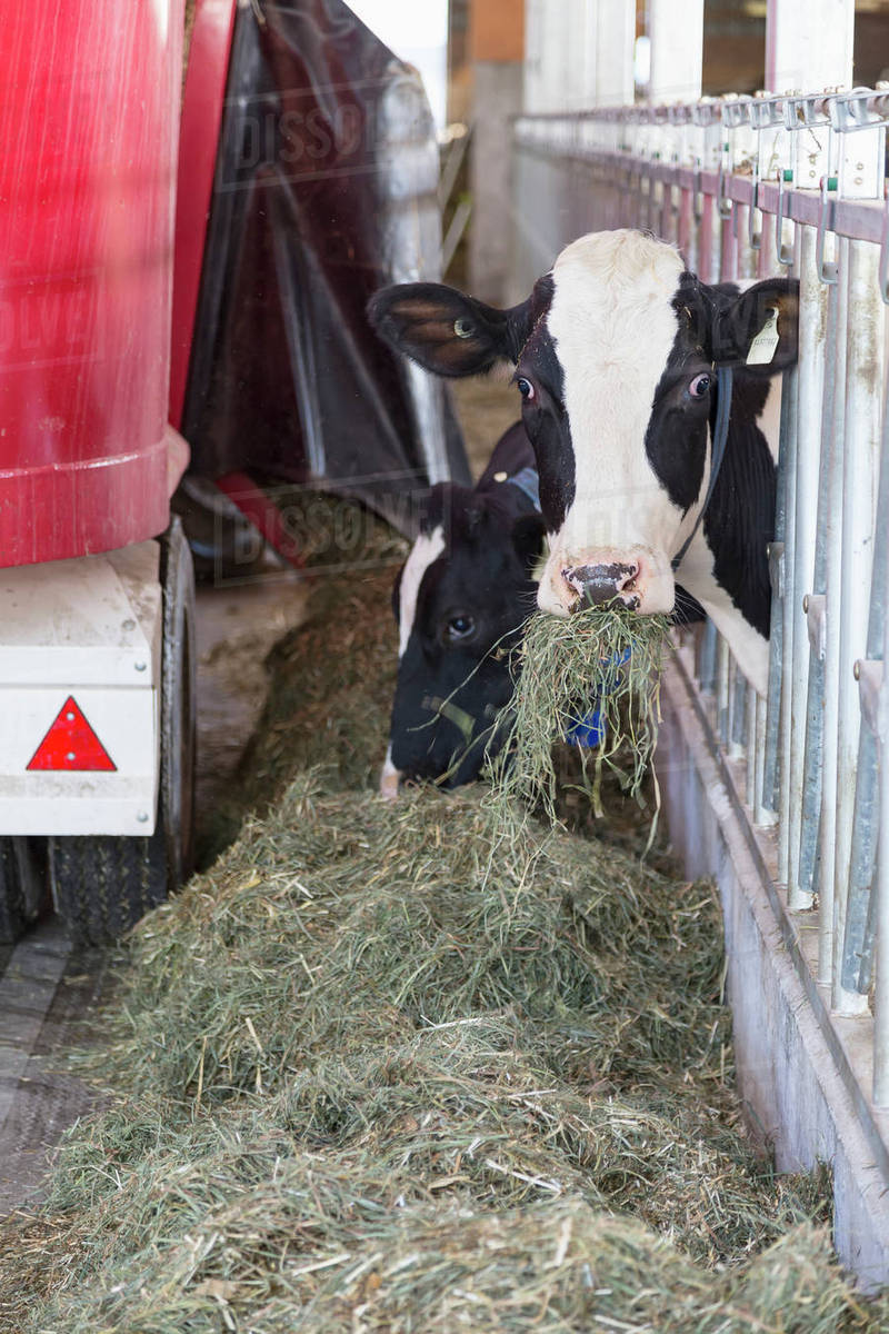 Feed Hay Cows Being Fed Hay Mixture After Milking Dewdney British Columbia Canada Stock Photo