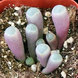 Small Of Baby Toes Succulent