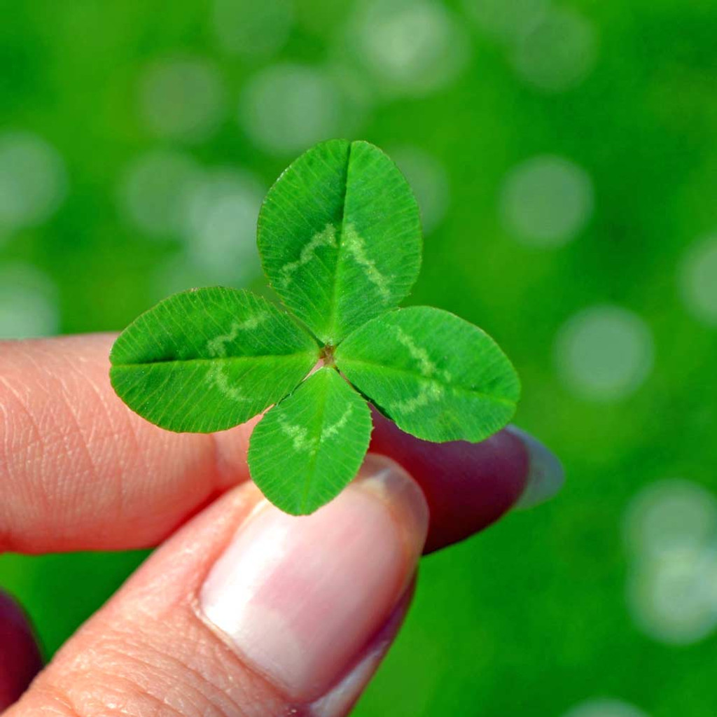 Four Leaf Clover Seeds Terroir Seeds