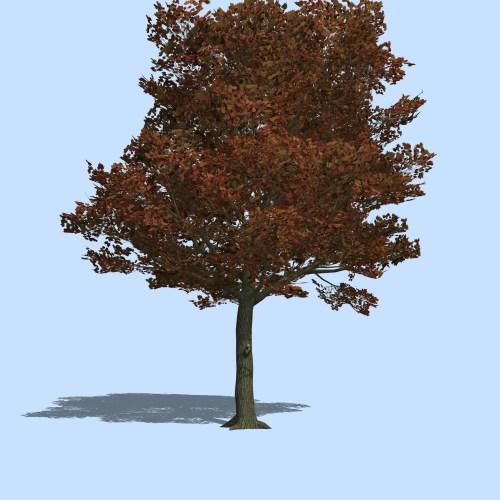 Medium Of Blue Maple Tree