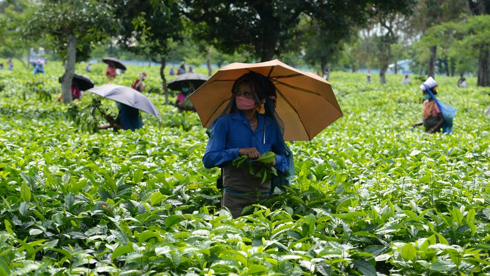 Labourers pluck tea leafs after India eased a nationwide lockdown imposed as a preventive measure against the spread of the coronavirus at Kiranchandra Tea Garden, some 20 kms from Siliguri on April 26, 2020.