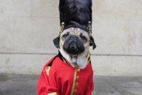 Costume-wearing dog 'Doug the Pug' tours England - UPI.com