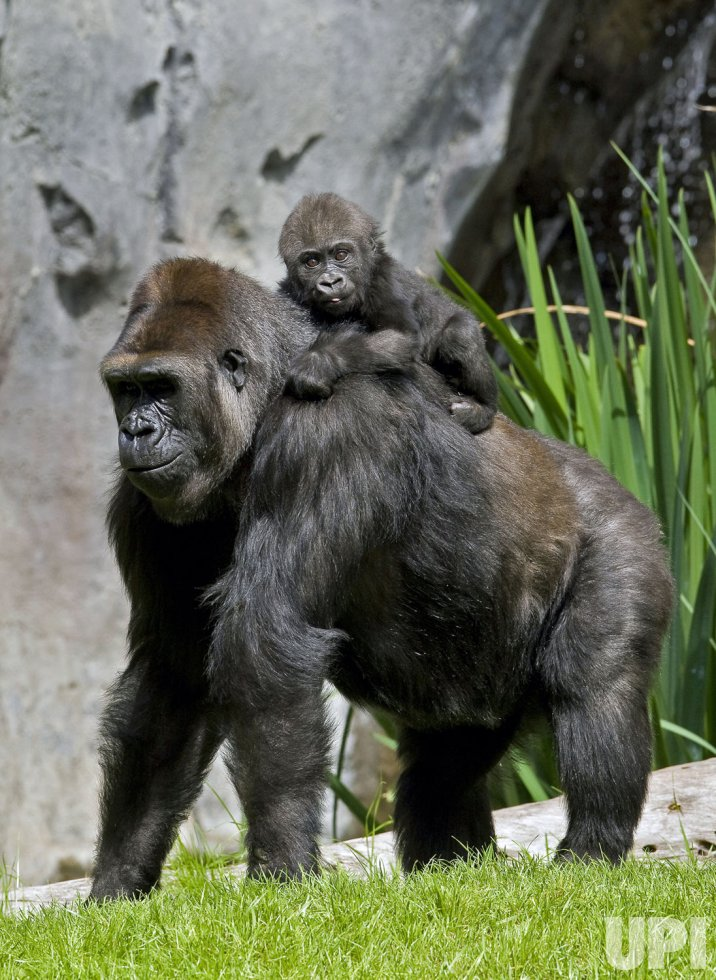 Toddler Three Years 8 Things You Didn 39;t Know About Baby Gorillas Photos