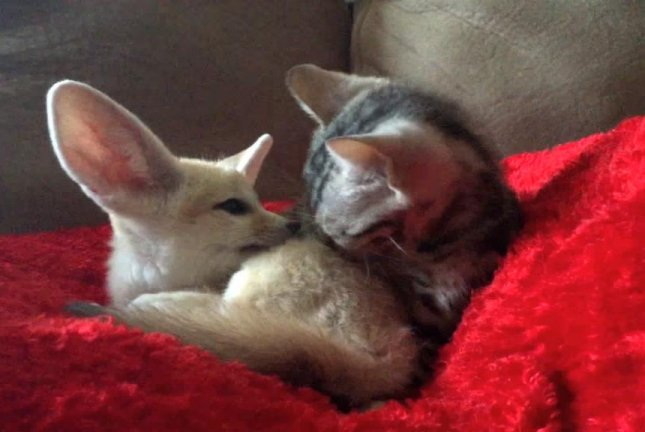 Snuggling On Sofa Watch: Baby Cat Grooms Baby Fennec Fox - Upi.com