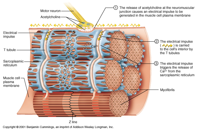Muscle - neuromuscular junction