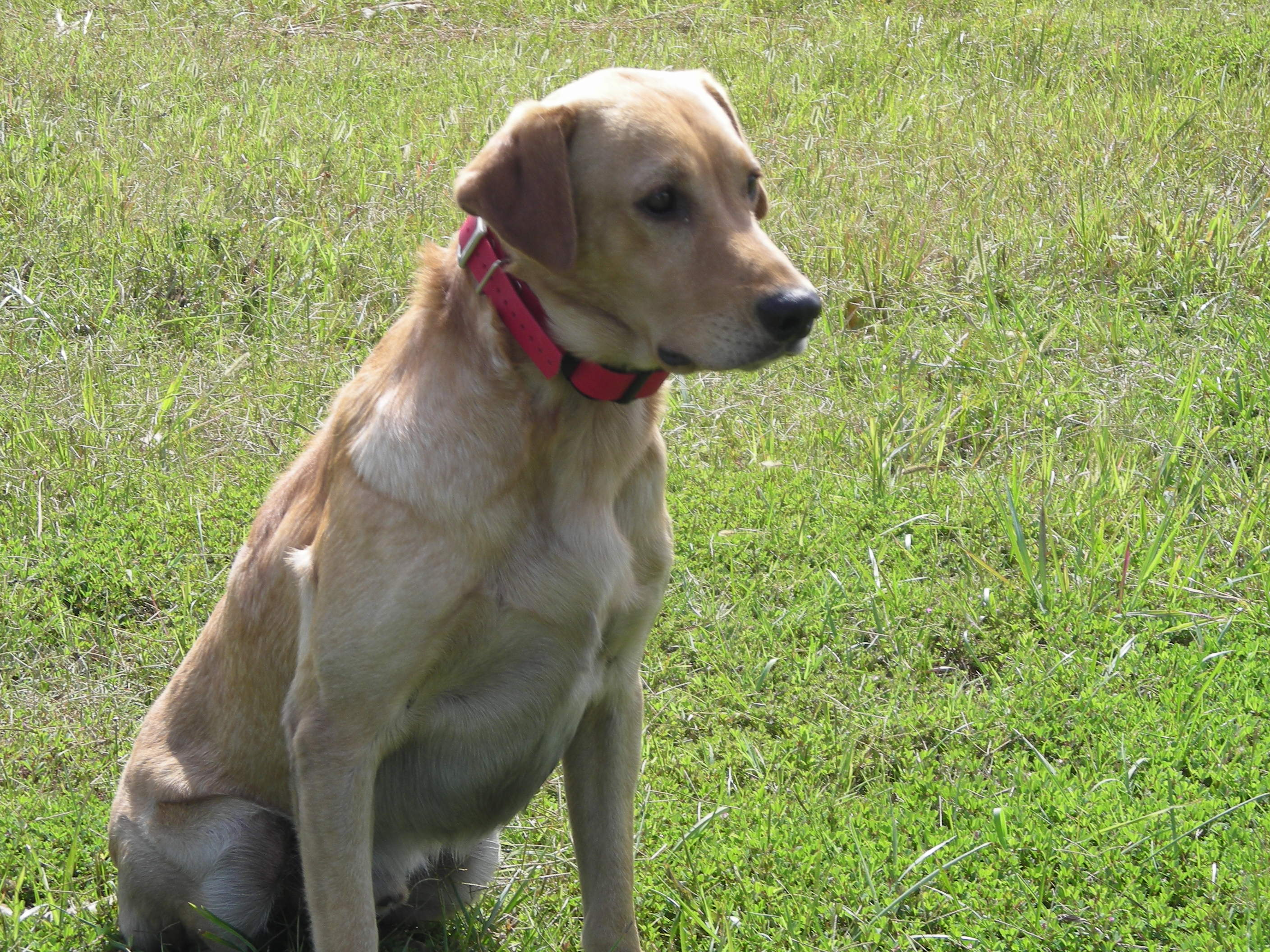 Yellow Lab Dogs For Sale Professionally Trained Hunting Labrador Retrievers For Sale