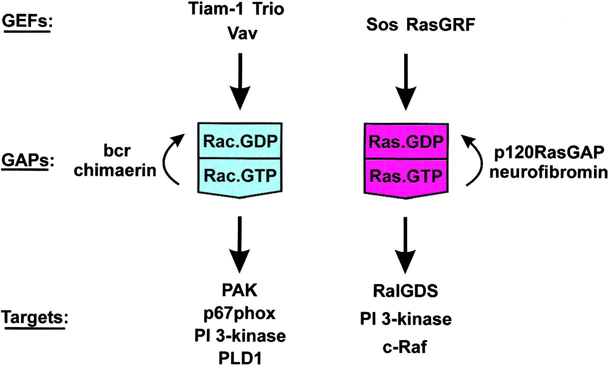 Ras Ras And Rho Gtpases Cell