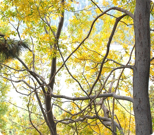 yellow leaves in tree