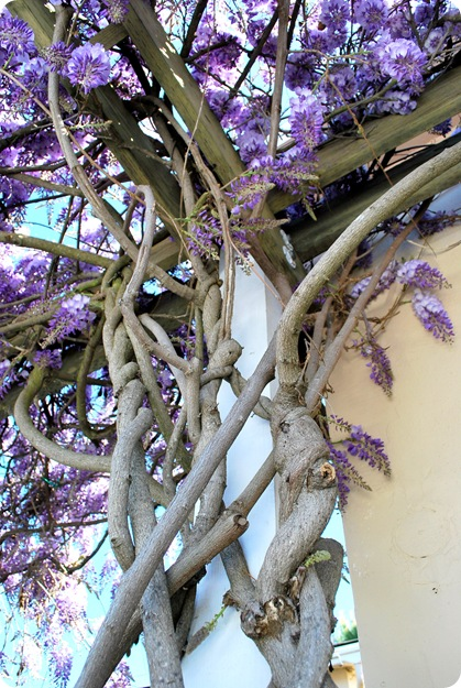 wisteria woody trunk